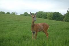 Deer-Release