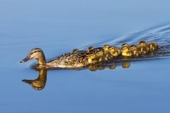 Family-of-ducks-1