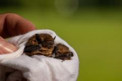 Pipistrelle-bat-1
