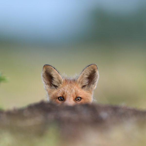 A wild fox in Scotland peeking over a log