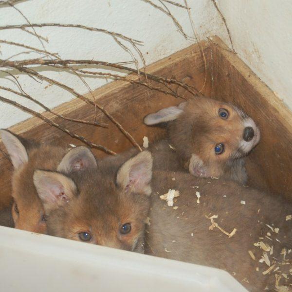 Three baby fox cubs snuggle in an enclosure box